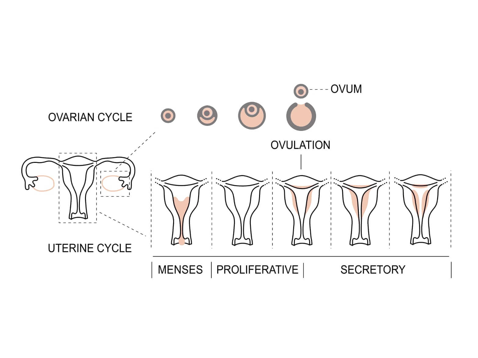 ovulation induction perth